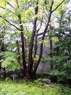 ヤマナシの木2.jpg