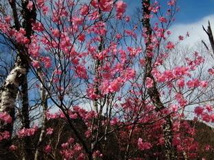 山桜?.jpg